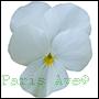 odpowiedniki olejków perfum z kwiatów białego fiołka