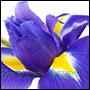 odpowiedniki perfum z kwiatu irysa-202