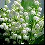 odpowiedniki olejków perfum z kwiatów konwalii