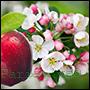 odpowiedniki olejków perfum kwiatu kwitnącej jabłoni