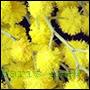 odpowiedniki perfum z kwiata mimozy