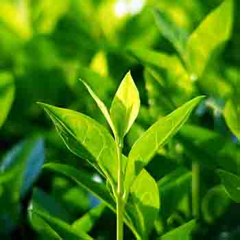 naturalny-olejek-z-liści-zielonej-herbaty