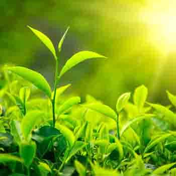 perfumy-z-naturalnym-olejkiem-z-zielonej-herbaty
