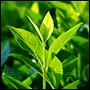 odpowiedniki olejków perfum ze świeżych liści zielonej herbaty